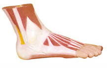 MUSCLES OF FOOT