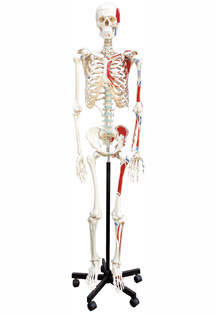 HUMAN SKELETON WITH MUSCLE AREA