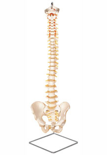 FLEXIBLE VERTEBRAL COLUMN