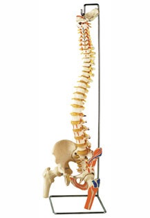 FLEXIBLE VERTEBRAL COLUMN WITH FEMUR HEADS AND MUSCLE INSERTIONS