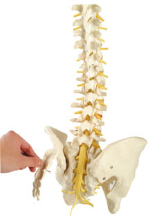 FLEXIBLE VERTEBRAL COLUMN WITH REMOVABLE SACRAL CREST