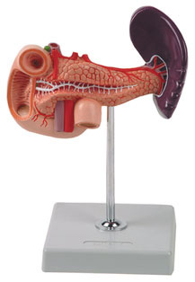 PANCREAS DUODENUM AND SPLEEN