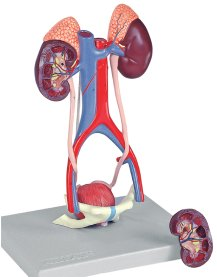 Urinary System, 5 Parts