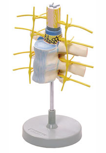 THORACIC VERTEBRAE WITH SPINAL CORD