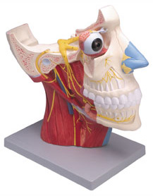 CRANIAL AND AUTONOMIC NERVES, 2 PARTS